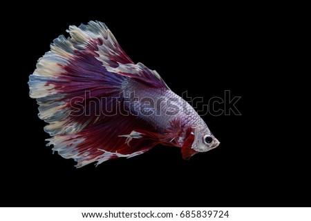 Betta Fish Fighting Motion In Aquarium Ez Canvas