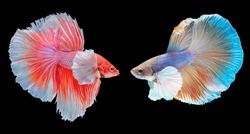 Betta fish red and blue  are fighting, on black background