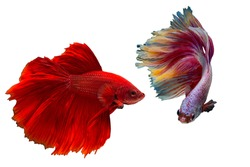 Betta fish, Siamese fighting fish, Betta splendens, pla-kad ( biting fish) Thai , trey krem Khmer, popular aquarium fish. White pink and super red halfmoon tail betta fighting motion isolated on White