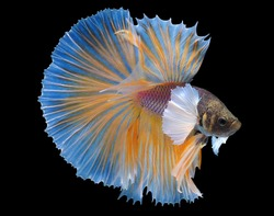Betta fish (Siamese fighting fish) Halfmoon Dumbo big ear has a colorful body and tail and. The black background makes the fish look distinct and good detail.This wildlife from asia thailand.