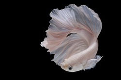 Betta fish,Siamese fighting fish in movement isolated on black background.