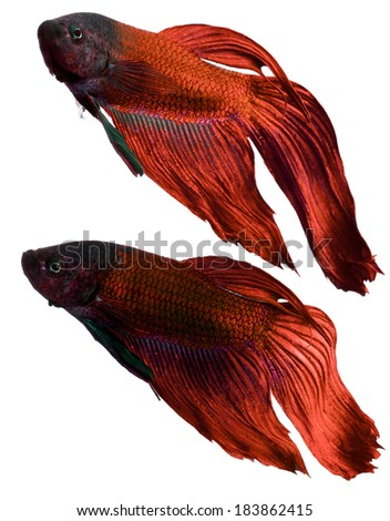 betta fish, siamese fighting fish isolated on white background