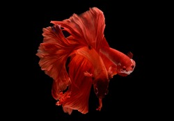 Betta fish (Siamese fighting fish) orange Halfmoon male and  female has a colorful body and tail. The black background and fish look distinct and good macro detail.This wildlife from asia thailand.
