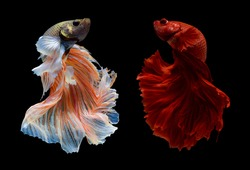Betta fish (Siamese fighting fish) Red Halfmoon and dumbo has a colorful body and tail and. The black background and fish look distinct and good macro detail.This wildlife from asia thailand.