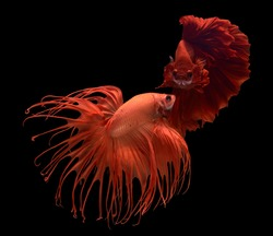 Betta fish (Siamese fighting fish) Red Halfmoon and orange crown tail has a colorful body and tail. The black background and fish look distinct and good macro detail.This wildlife from asia thailand.
