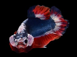Betta fish (Siamese fighting fish) short tail Plakad HMPK has a colorful body and tail and. The black background and fish look distinct and good macro detail.This wildlife from asia thailand.