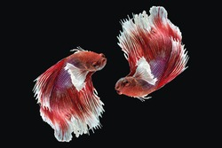 betta fish splendens moving in water isolated on black background. twin siamese fighting fish red fancy color symmetrical magnificent swimming action in aquatic.