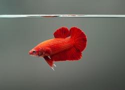 Betta fish super red Halfmoon siamnese Fighting Fish Splendens swimming in Fish tank
