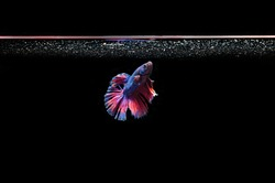 Betta fishis a large genus of small