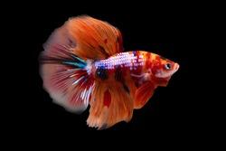 Betta Koi Nemo Candy Halfmoon HM Male or Plakat Fighting Fish Splendens  on Black Background