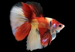 Betta Nemo HM Halfmoon  Male or Plakat Fighting Fish Splendens On Black Background.