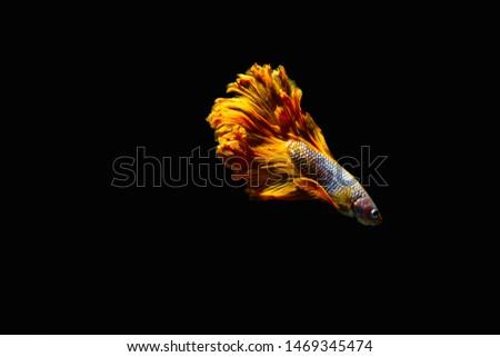 Betta , siamese fighting fish,Fish, Freshwater Fish, Siamese Fighting Fish, Fighting, Luxury,Siamese fighting fish isolated on black background,Halfmoon betta