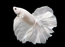 Betta White Platinum HM Halfmoon  Male or Plakat Fighting Fish Splendens On Black Background.