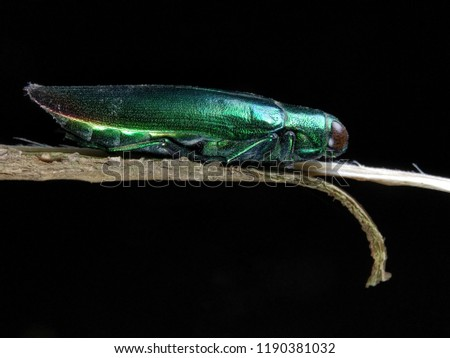 bettle , in indonesia called samber lilin , this bettle have green light colour and blue