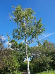 Betula Pendula Roth tree with a blue sky which is commonly known as silver birch because of its white bark, stock photo image