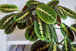 Beuatiful prayer plant (maranta leuconeura fascinator tricolor) on a shelf in a modern apartment.