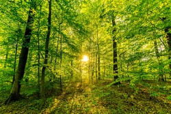 Beuatiful scenic fresh trees in spring in a forest with sun as backlight