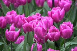 Beuatiful sweet triumph tulips or purple flag , bright royal -colorful cup shaped flower growing and blossom in mid spring season . nature background concept.