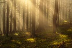 Beutiful morning sun rays in green woods.