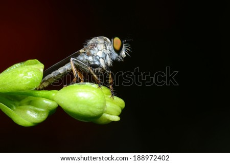 beutiful robber fly killing insect for food