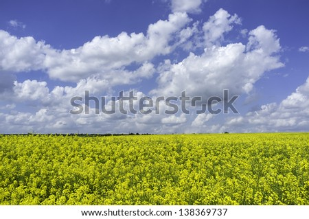 Beverley, Yorkshire, UK. View of a field of oil seed rape in full bloom on a fine summer day with blue sky and clouds near the market town of Beverley, East Riding of Yorkshire, UK.