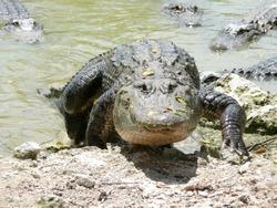 Beware of the alligator