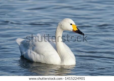 Bewick's Swan or Tundra Swan - Cygnus bewickiiSingle bird swimming in Winter Sunlight