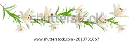 beyaz panoramik arka planda izole uzatılmış zambak çiçekleri çiçek dalı Stok fotoğraf ©