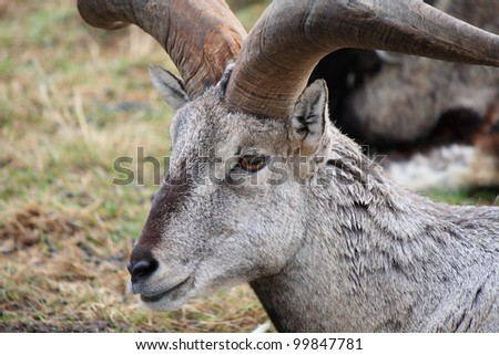 Bharal - Himalayan Blue Sheep #99847781