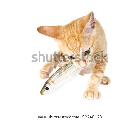 Bi-ginger kitten eats fish