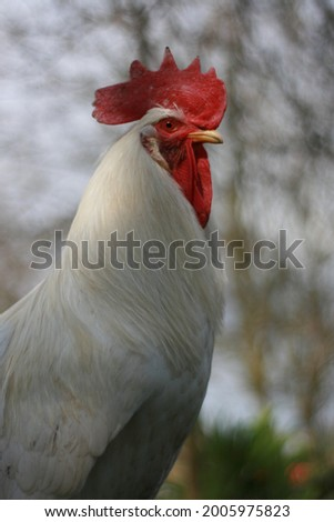 biały kogut z czerwonym grzebieniem i dzwonami Zdjęcia stock ©