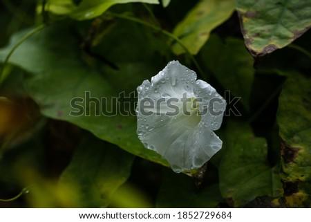 Biały kwiat powoju zmoczony kroplami deszczu na tle ciemnozielonych liści. Zdjęcia stock ©