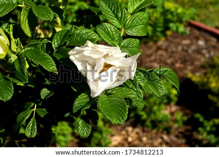 Biały kwiat rośnie na krzaku Zdjęcia stock ©
