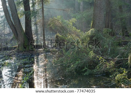 Bialowieza Forest riparian stand in morning with alder and spruce tree illuminated
