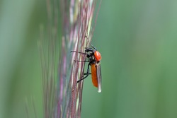 Bibio hortulanus is a fly from the family Bibionidae called March flies and lovebugs. Larvae of this insects live in soil and damaged plant roots.