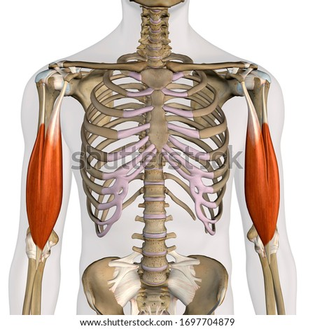 Biceps Brachii Muscles Isolated in Anterior View Anatomy, 3D Rendering on White Background ストックフォト ©