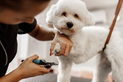 Bichon breed puppy at the veterinarian. Blonde pet beautician cuts white dog's nails with professional equipment.