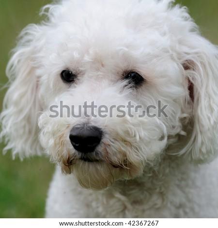 Bichon Frise dog closeup