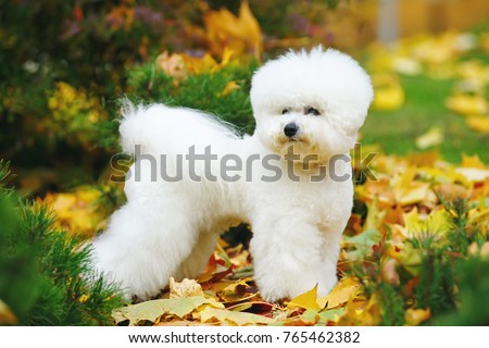 Bichon Frise dog with a stylish haircut staying outdoors on fallen leaves in autumn