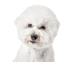 Bichon Frise puppy. Dog isolated on a white background. White dog. Bichon after grooming. Close-up.