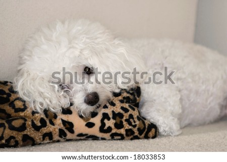 Bichon frise resting on pillow -eyes open - recovering from illness - she\'s ok now ;)