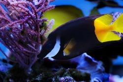 Bicolor Black with yellowtail Foxface rabbitfish - (Siganus uspi)