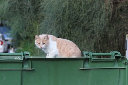 Bicolor white stray ginger sandy street cat sitting in a green trash bin and looking for food in garbage container. Trees and shrubbery in the background. Cat is looking toward the camera. Hard life.