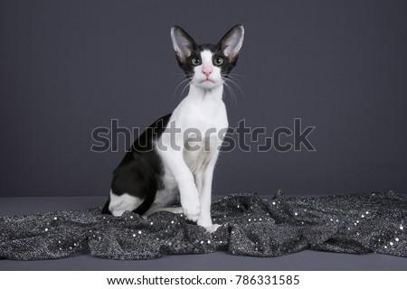 Bicolour Oriental Cat #786331585