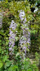 Bicolour, violet-white, long wisteria flower truss against young, green leaves. Pendulous, two-colour wisteria vine flower raceme with fresh, green leaves. Drooping truss of purple-white flowerets.