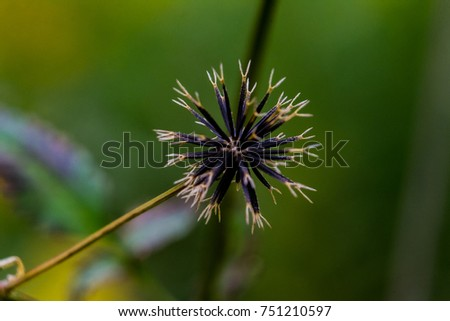 Bidens pilosa, also known as beggars ticks, cobbler's pegs, or spanish needles.  This aggressive weed often grows in disturbed ground and the burs stick to everything they touch.