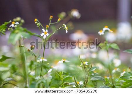 Bidens pilosa is a biennial plant found along or wastelands.