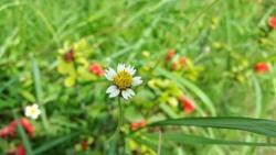 Bidens pilosa or ketul or black-jack or beggarticks or hairy beggarticks or cobbler's pegs or devil's needles or hairy bidens on green blurred grass floral background.