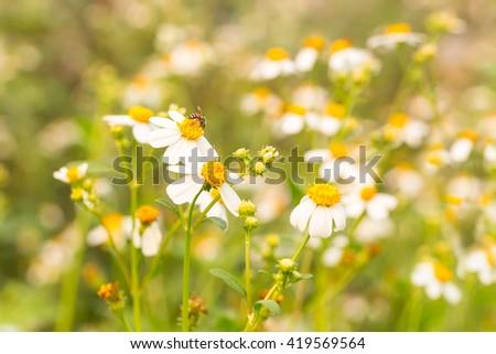 Bidens Pilosa Var. Radiata flower on colorful blurry background, wildflowers in morning light