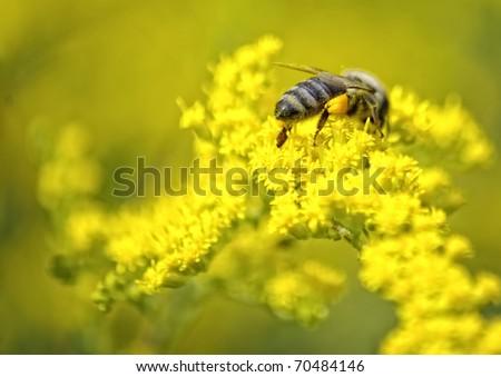 Biene auf gelben Bl�¼ten - stock photo